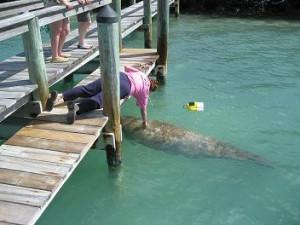 vistor to the pier-manatee